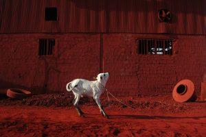 Calf A Size45cm30cm Year2014 Edition 5 300x200 - RED DREAM Photos