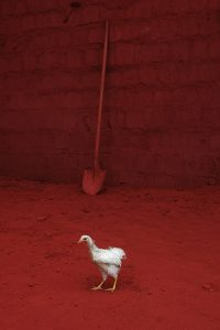 Chicken A Size45cm30cm Year2014 Edition 5 200x300 - RED DREAM Photos