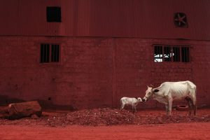 Cow A Size45cm30cm Year2014 Edition 5 300x200 - RED DREAM Photos
