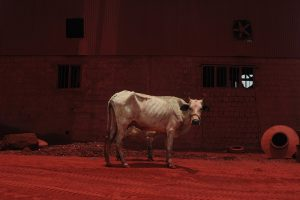Cow Size45cm30cm Year2014 Edition 5 300x200 - RED DREAM Photos