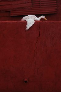 Duck Size45cm30cm Year2014 Edition 5 200x300 - RED DREAM Photos