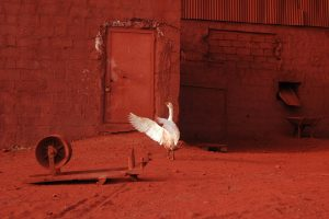 Goose A Size45cm30cm Year2014 Edition 5 300x200 - RED DREAM Photos
